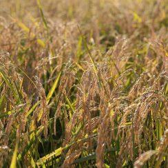 山田錦の収穫が間近に迫っています♪