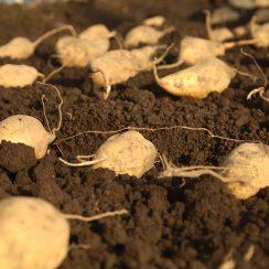 お芋の苗作りが始まりました♪